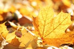 Autumn leaf. Closeup of fallen autumn leaves royalty free stock photo