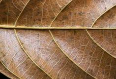 Autumn Leaf Closeup Foto dorata di macro di struttura della foglia Modello giallo asciutto della vena della foglia Fotografia Stock
