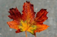 Autumn leaf closeup Stock Photo