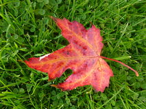 Autumn leaf in clover Stock Photos