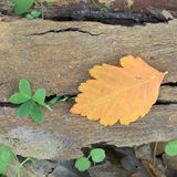 Autumn leaf and clover on tree bark Royalty Free Stock Image