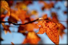 Autumn leaf. With selective focus Stock Photography