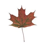 Autumn leaf. Colorful illustration with autumn leaf on  a white background Stock Photos