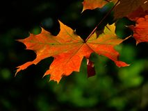 Autumn, Leaf, Colorful, Leaves Royalty Free Stock Photography