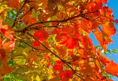 Autumn leaf colors in a garden in sunlight Royalty Free Stock Images