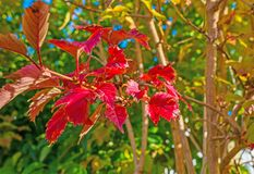 Autumn leaf colors in a garden in sunlight Royalty Free Stock Image
