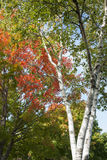 Autumn leaf colors. On silver birch tree royalty free stock image