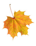 Autumn leaf. Colourful autumn leaf on white background Royalty Free Stock Photography
