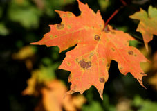 Autumn Leaf Coming At You Royalty Free Stock Photo
