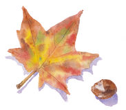 An autumn leaf and conker. Watercolor painting showing a maple autumn leaf and a conker vector illustration