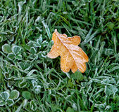Autumn leaf covered with frost. Royalty Free Stock Images