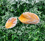 Autumn leaf covered with frost. Royalty Free Stock Image