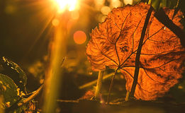Autumn leaf on a dark background. And the sunlight stock photography