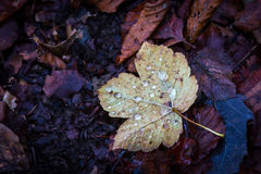 Autumn leaf on dark ground Stock Image