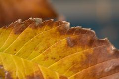 Autumn leaf Decaying Royalty Free Stock Photography