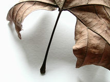 Autumn leaf, detail. A close detail of a dried autumn leave Royalty Free Stock Images