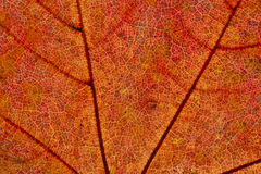 Autumn leaf detail Stock Photography