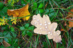 Autumn leaf and drops. Stock Images