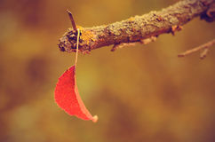 Autumn leaf on dry branch Royalty Free Stock Images