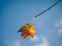 Autumn leaf on the end of a twig Stock Photo
