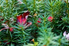 Autumn Leaf on Evergreen Stock Photography