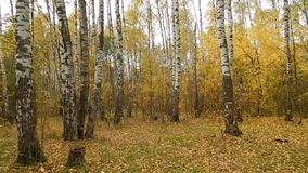 Autumn leaf fall in a birch grove stock video footage