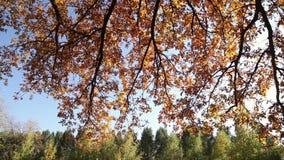 Autumn leaf fall, leaves on the oak trees. Autumn leaf fall, gold, yellow, red leaves on the oak trees stock video footage