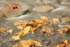 Autumn leaf fall. Autumn leaves in the water Royalty Free Stock Images