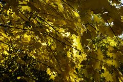 Autumn leaf fall maple, color they are different. royalty free stock photography