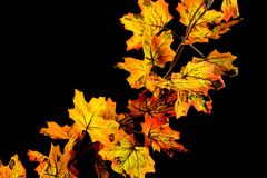 Autumn leaf fall maple, color they are different. royalty free stock image