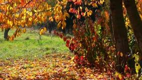 Autumn Leaf Fall stock video