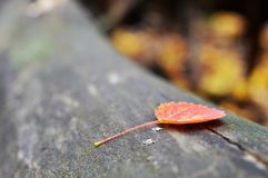 Autumn leaf. A fallen leaf in the forests of Sweden Royalty Free Stock Photos