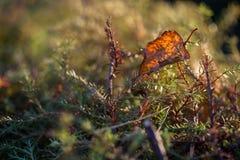 Autumn leaf. Fallen autumn leaf on a green tree Royalty Free Stock Photo