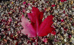 Autumn leaf with fallen leaves background. Red autumn leaf with fallen leaves background Stock Images