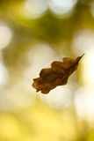 Autumn leaf falling. Single leaf falling in a blurred sunny forest background Stock Image