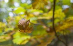 Autumn leaf falling. Shallow DOF Stock Photography