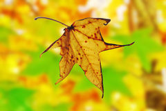 Autumn leaf falling from maple tree. A maple leaf falling in autumn with backdrop of blurred autumn colour Stock Image