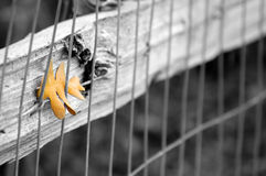 Autumn Leaf in Fence Royalty Free Stock Photos