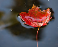 Autumn Leaf Floating Stock Images