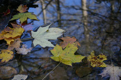 Autumn leaf floating on surface of water. Stones visible on stream bed and trees visible in reflection. surface tension around leaves Stock Photos