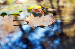 Autumn leaf. Floating on water, shallow DOF Royalty Free Stock Images