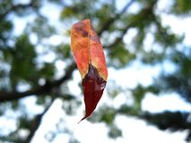 Autumn leaf floats in the air - hanging on a cobweb. NA leaf leaves a tree and floats in the airn stock photos