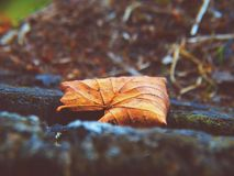 Autumn leaf in the forest Royalty Free Stock Images