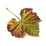 Autumn leaf of a grape plant. On white background Stock Photography