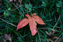 Autumn leaf on grass. Closeup of autumn leaf on green grass Royalty Free Stock Images