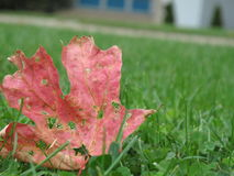 Autumn Leaf on Grass Lawn royalty free stock image