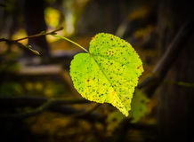 Autumn leaf. Green birch leaf in autumn in a dark forest royalty free stock photography