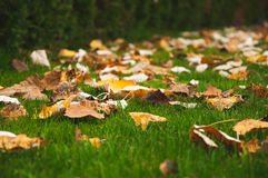 Autumn leaf. On green grass Stock Image