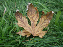 Autumn leaf. On the green grass royalty free stock photo