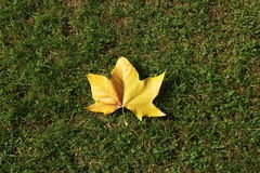 Autumn leaf on green grass. Stock Photos